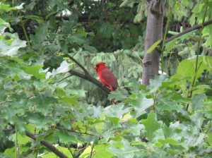 Mr. Cardinal