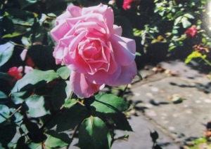 Tralee Rose!